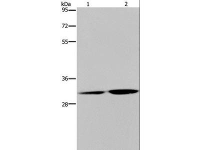LSD / DNASE1L3 Polyclonal Antibody