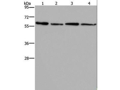 ART4 Antibody