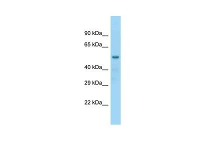 NAP1L2 Polyclonal Antibody