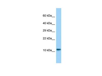 Lsm10 Polyclonal Antibody