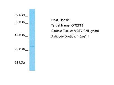 OR2T12 Polyclonal Antibody
