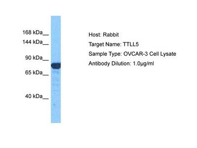 TTLL5 Polyclonal Antibody