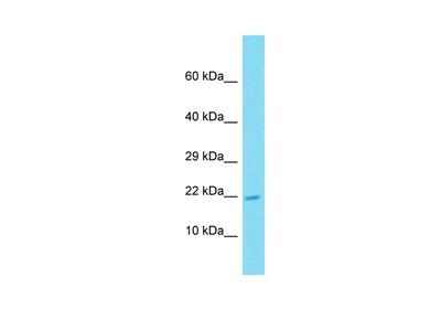 ATP6V0E2 Polyclonal Antibody