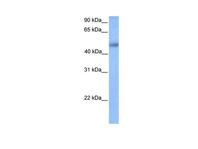 Ubtfl1 Polyclonal Antibody