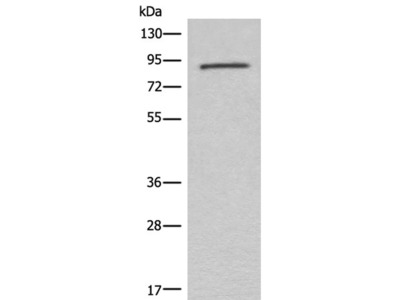 C7 Polyclonal Antibody