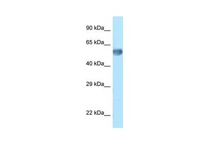 ZNF394 Polyclonal Antibody