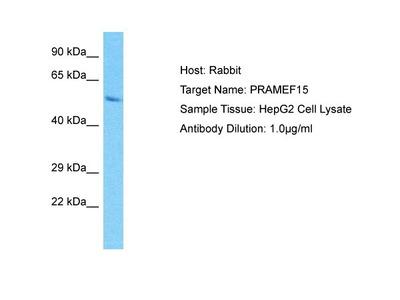 PRAMEF15 Polyclonal Antibody