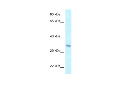 TAF8 Antibody
