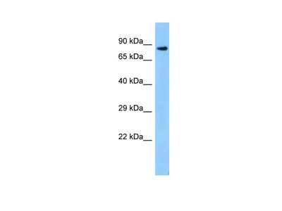 Zfp109 Polyclonal Antibody