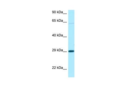 NIPA1 Polyclonal Antibody