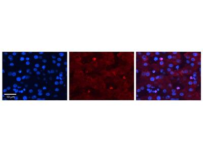 ZGPAT Polyclonal Antibody