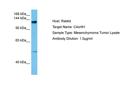C4ORF41 Polyclonal Antibody