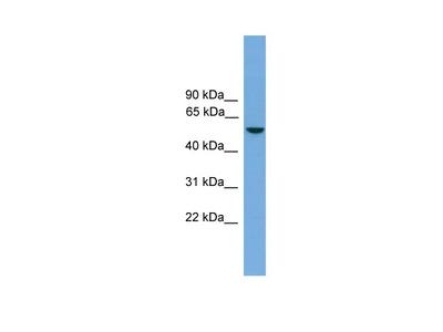 Nr1h5 Polyclonal Antibody