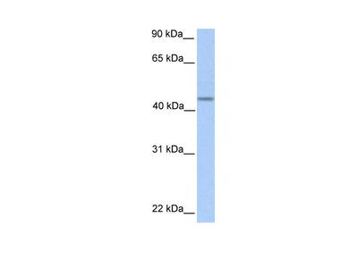 PNPLA5 Polyclonal Antibody