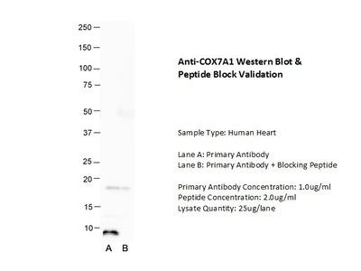 COX7A1 Polyclonal Antibody