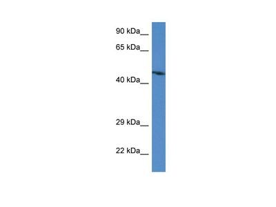 ABRA Polyclonal Antibody