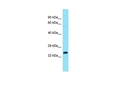 C4orf45 Polyclonal Antibody
