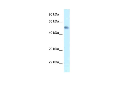 Zfp472 Polyclonal Antibody