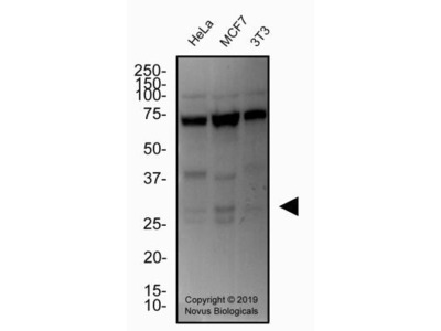 Mouse Monoclonal Cited-2 Antibody