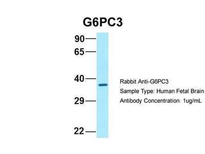 G6PC3 Polyclonal Antibody
