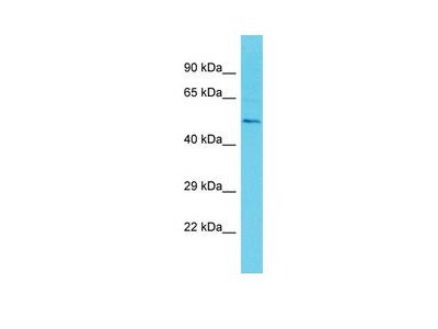 ETV3 Polyclonal Antibody