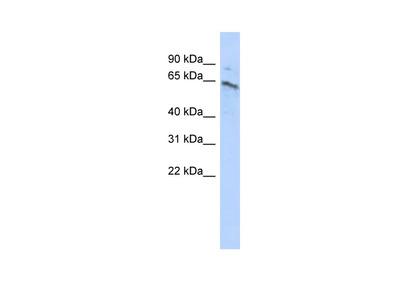 ZNF468 Polyclonal Antibody