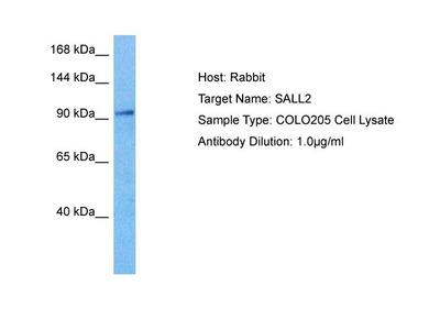 SALL2 Polyclonal Antibody