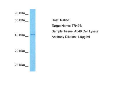 TRIM49B Antibody