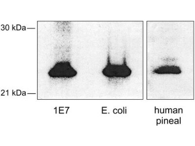 Rabbit Polyclonal Serotonin N-acetyltransferase Antibody