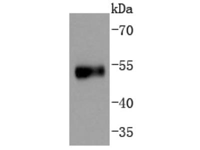 p53(S376) (7C9) Monoclonal Antibody