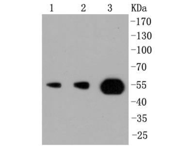 PI 3 Kinase p55 gamma (6A1) Monoclonal Antibody
