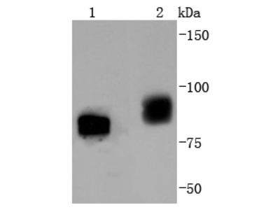 B Raf (Tyr401) (2B3) Monoclonal Antibody