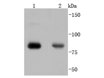 PRKCA (Thr638) (4B3) Monoclonal Antibody