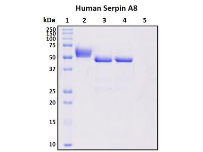 Recombinant Human Serpin A8