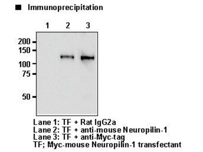 Anti-Neuropilin-1 (CD304) (Mouse) mAb
