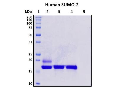 Recombinant Human SUMO-2