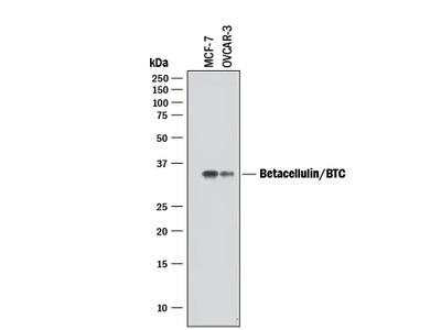 Human Betacellulin / BTC Antibody