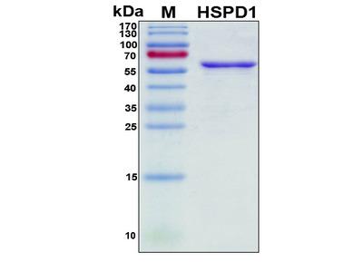 Recombinant Human HSP-60