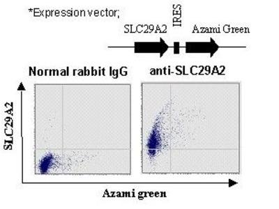 Anti-SLC29A2 (ENT2) (Human) pAb