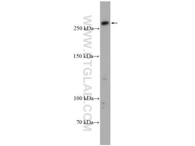 PRDM2 antibody