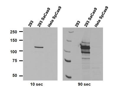 CRISPR/Cas9 (SaCas9) Monoclonal Antibody [6H4]