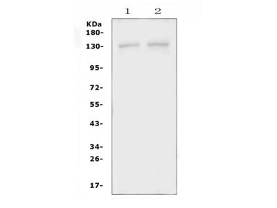 Anti-PSD Picoband Antibody