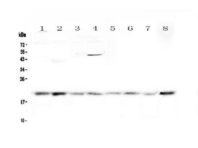 Anti-GADD45G Picoband Antibody