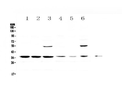 Anti-JunD Antibody Picoband