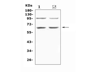 Anti-AMPK alpha 1/PRKAA1 Picoband Antibody
