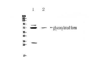 Anti-CD68 Picoband Antibody