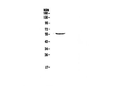 Anti-TRIM5 Antibody Picoband