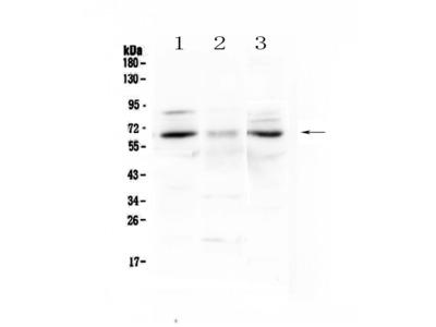 Anti-CCKBR Antibody Picoband