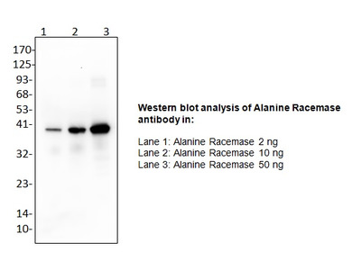 Anti-Alanine Racemase Antibody
