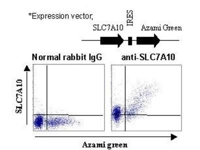 Anti-SLC7A10 (Asc-1) (Human) pAb
